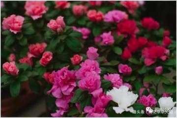 杜鹃花有毒 还有花友在室内养殖盆景