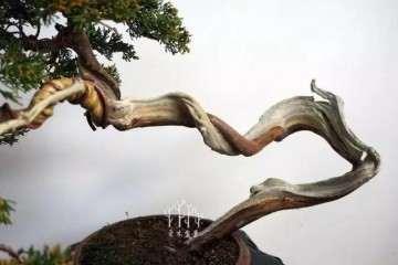 图解 文人柏树盆景怎么整型蟠扎