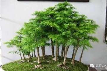 盆景靠枝干怎么造型的方法 图片