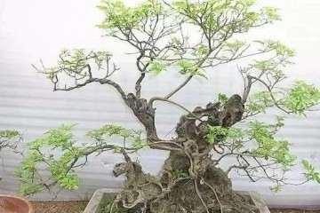 黄荆老桩盆景怎么修剪造型的方法
