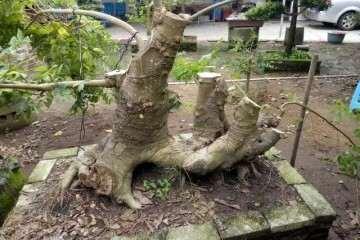 图解 朴树丛林盆景桩材怎么设计的方法