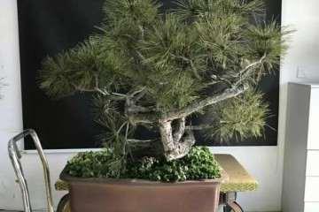 图解 赤松盆景怎么换盆创作的方法