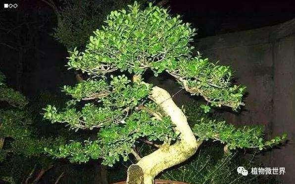 制作盆景有哪些小叶黄杨种类