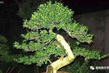 制作盆景有哪些小叶黄杨种类 图片