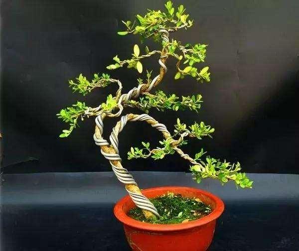 小叶黄杨盆景怎么上盆逼芽的方法