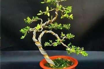 小叶黄杨盆景上盆逼芽后怎么浇水