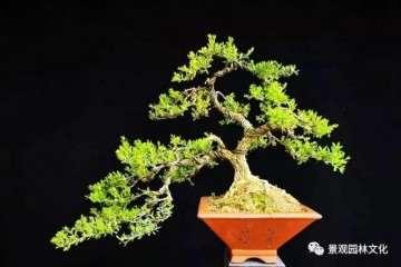 黄杨盆景制在春季怎么上盆栽种的方法