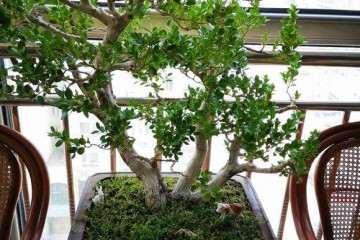 请教大师 这个黄杨盆景怎么修剪最好?