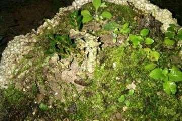 云南珍珠黄杨盆景在上盆后怎么发芽养护