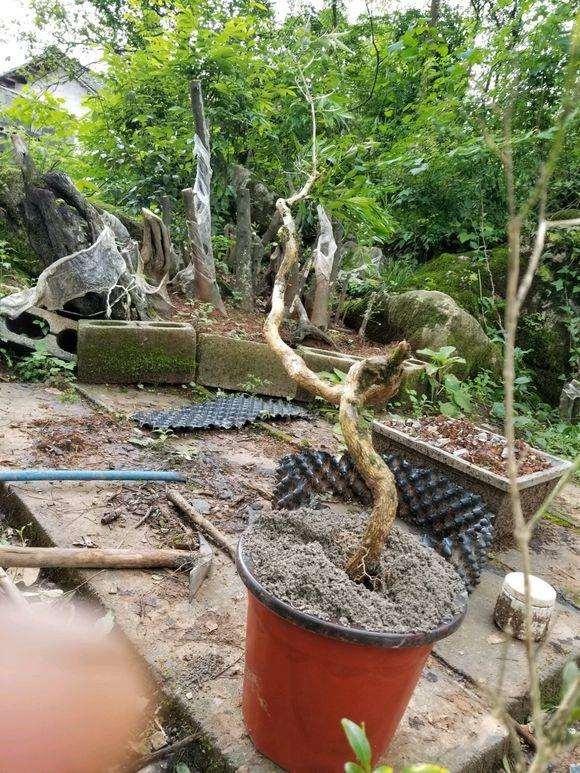 为什么黄杨下山桩被截肢了很难发芽