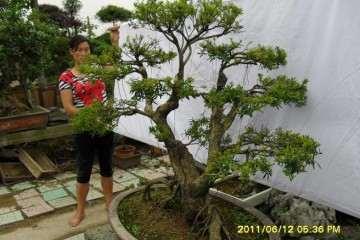 黄杨盆景病虫害怎么防治的方法