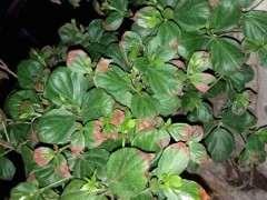 看看映山紅下山樁的葉子為什麼發黃