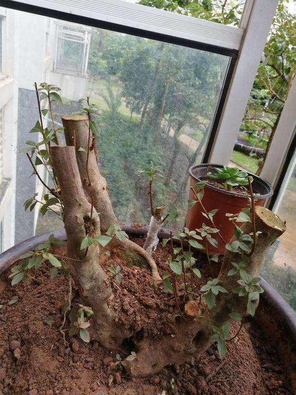 为什么映山红树桩下山桩用纯沙种最好