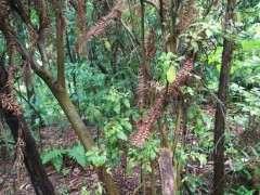映山红树桩下山桩什么季节挖成活最好