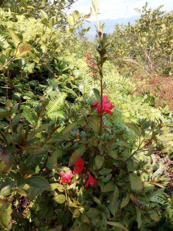 野生映山红下山桩什么时候开花