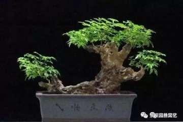 黄荆盆景枝干怎么造型的方法 图片