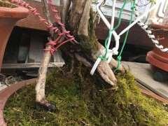 映山红下山桩的树杆一半开裂没皮