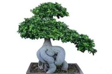 榕树盆景怎么修剪施肥的6个方法