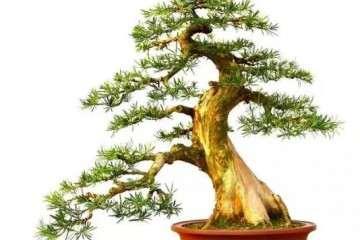 罗汉松盆景树干怎么造型的方法