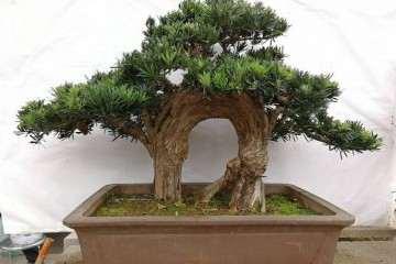 罗汉松室内盆景怎么养护与种植