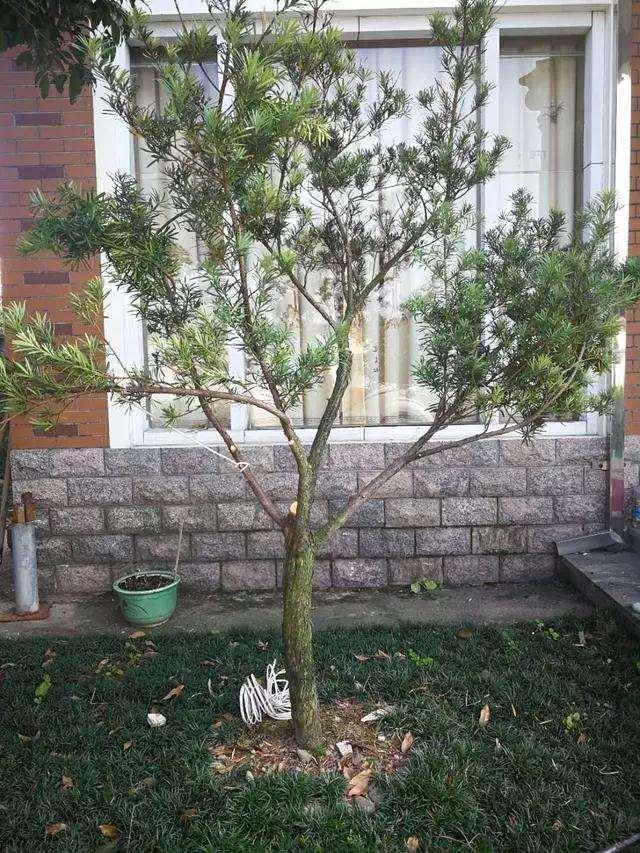 罗汉松盆景树怎么造型设计