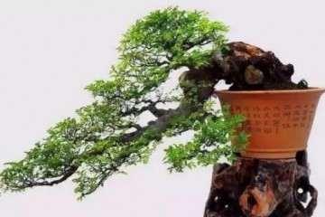 榆樹盆景怎么移栽澆水的方法