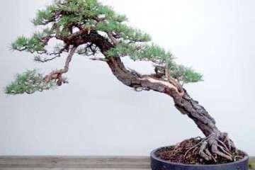 我们应该如何看待文人树盆景呢