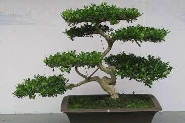 黄杨盆景栽培