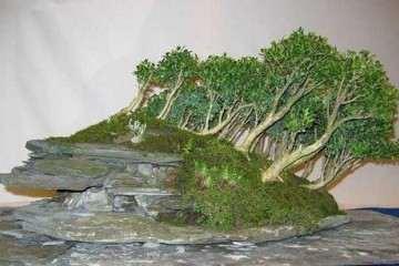 黃楊盆景生根