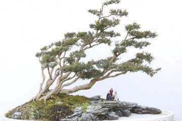 黄杨盆景移栽