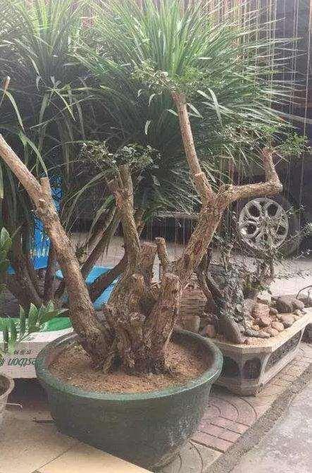 福建茶桩材盆景怎么造型设计
