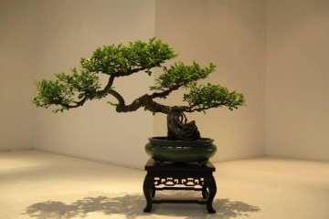 黄杨盆景栽种