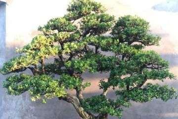 黄杨盆景蟠扎