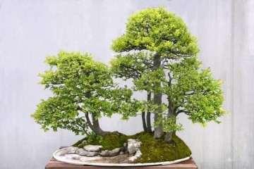 豆瓣黃楊盆景