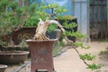 黃楊盆景老樁