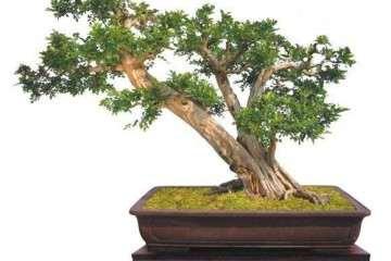 黃楊盆景設計