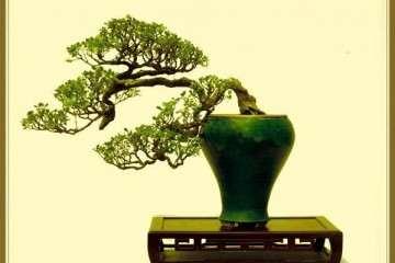 黃楊盆景繁殖