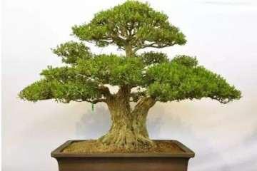 黄杨盆景技巧