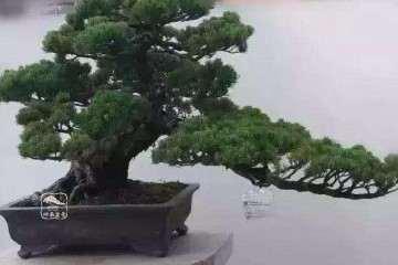 夏季黄杨盆景