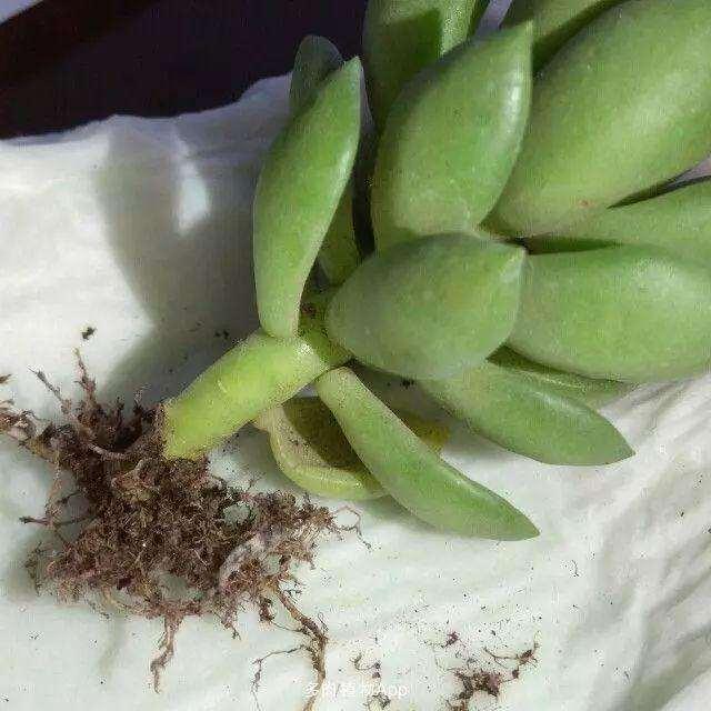 多肉植物上盆修根要分清主次