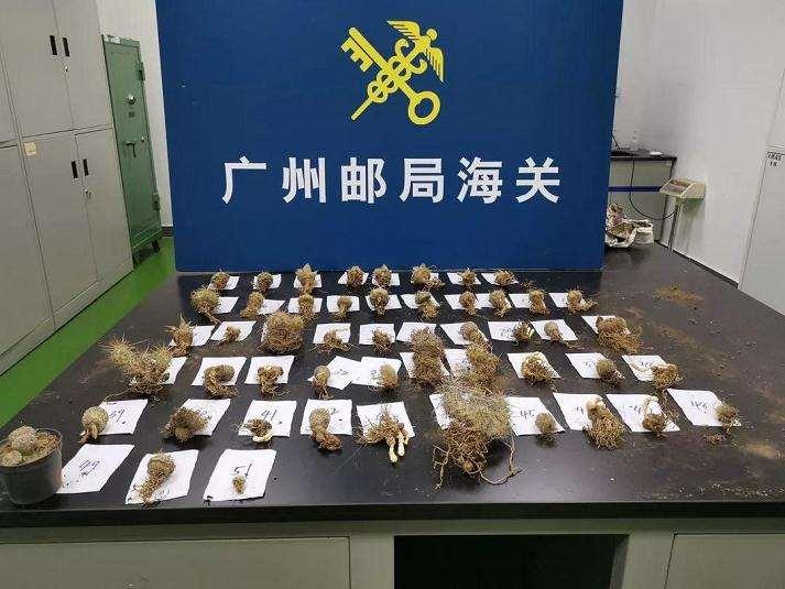 广州海关查获大量濒危多肉植物