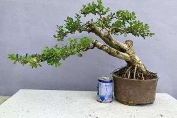 黄杨盆景怎么修剪与造型的方法