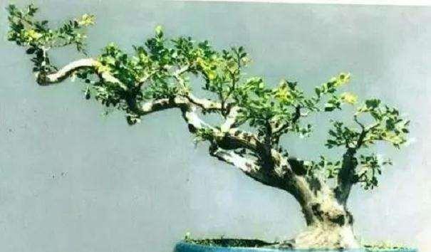 小叶黄杨盆景怎么选材的方法