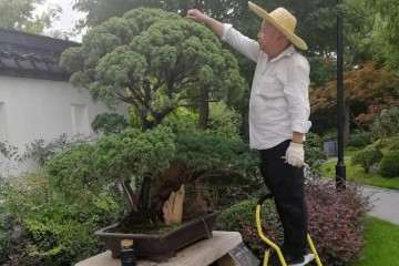 秋季树桩盆景怎么修剪管理的方法