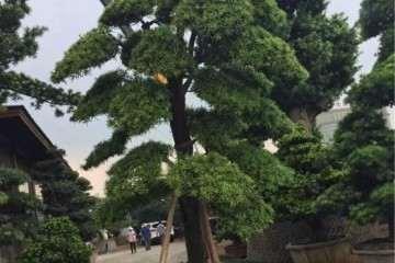 10公分的罗汉盆景松造型树价格 多少钱