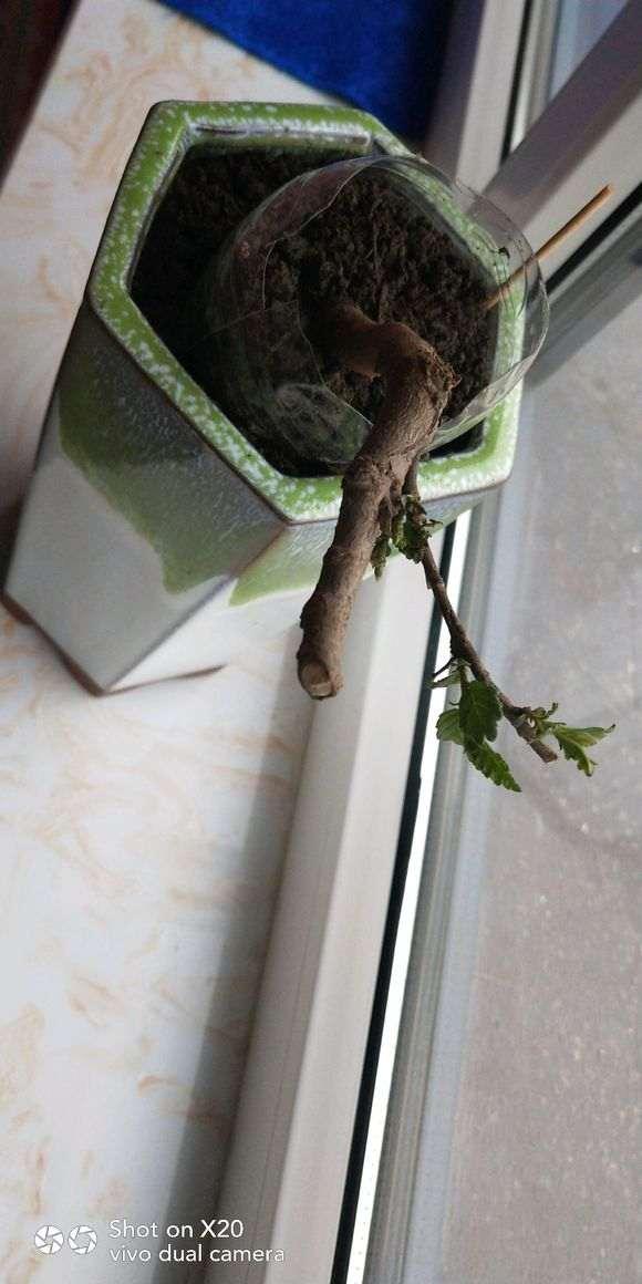 小榆树下山桩的盆景养成记