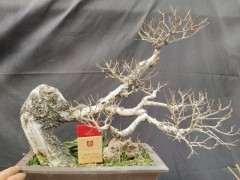 山采的小叶榆树下山桩 怎么造型最好