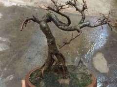 这颗榆树下山桩还能活过来吗