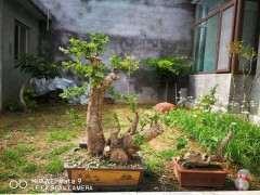 榆树下山桩冬天如何养护的方法 图片