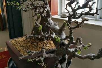 玩来玩去 还是榆树盆景最好玩